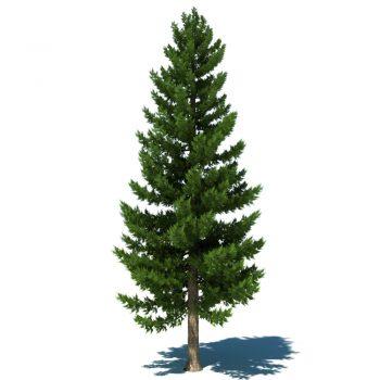 pine-tree-b-jpgde883924-59d3-4718-94a1-c20665306fb3original