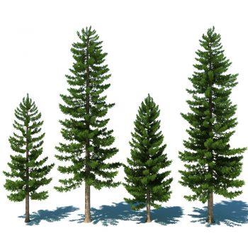 pine-trees-01-jpg396d007c-df38-473a-bccb-56562bb49cfboriginal